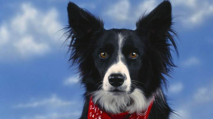 Bandit, Border Collie